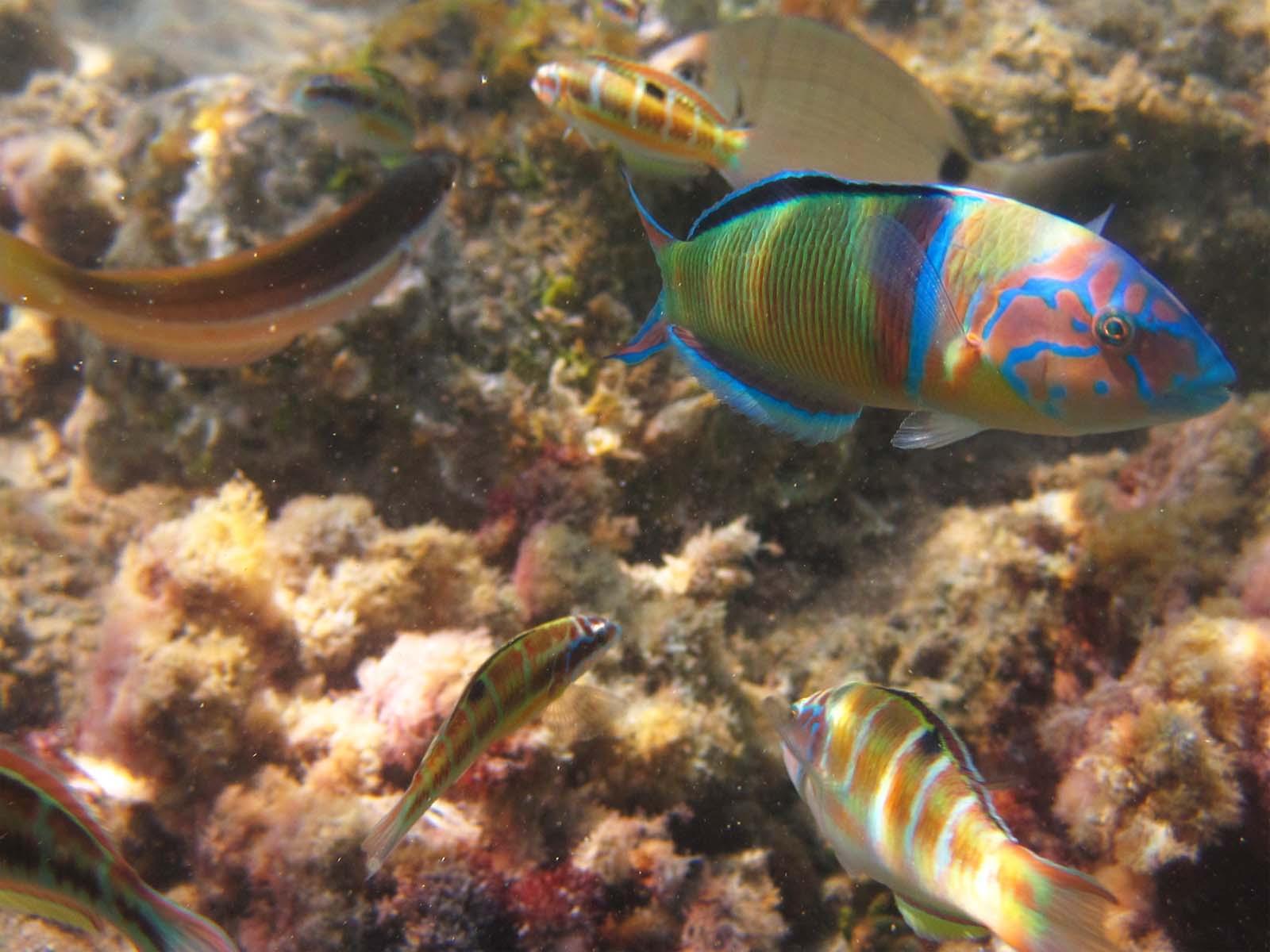 gaitanouri thalassoma pavo fish corfu