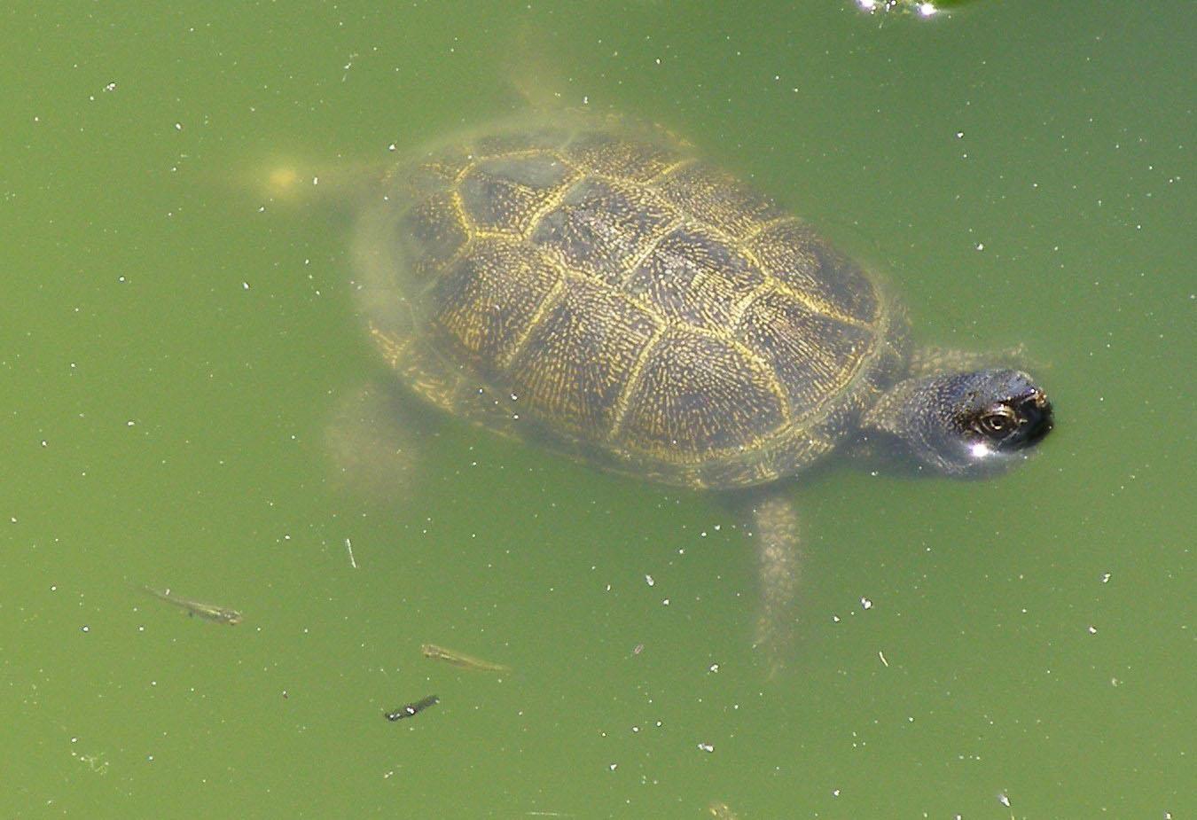 pond turtle corfu mykerkyra.com