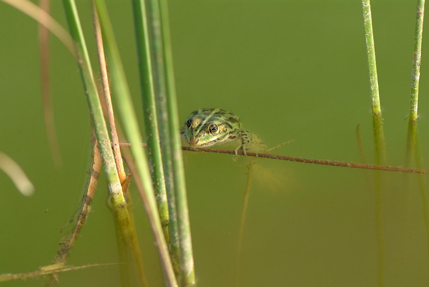βάτραχος Κέρκυρα φύση