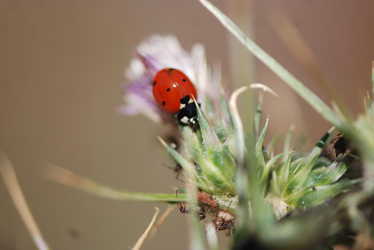 ladybird mykerkyra.com
