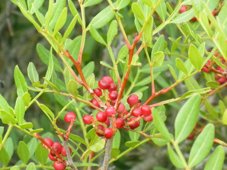 Pistacia lentiscus, the Mastic Tree schinos mykerkyra.com