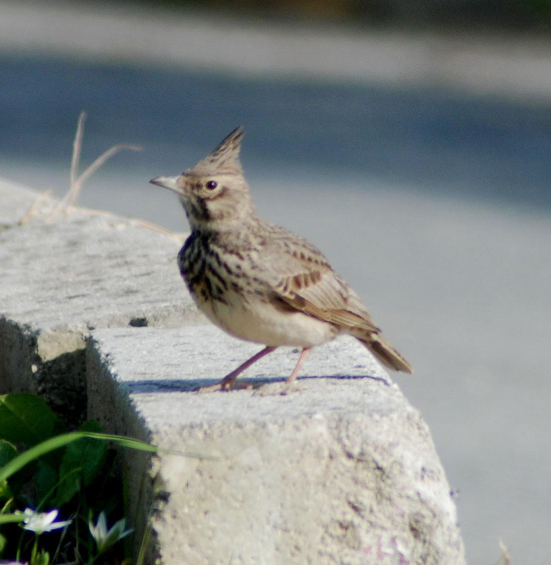 Κορυδαλός Galerida cristata πουλί Κέρκυρα