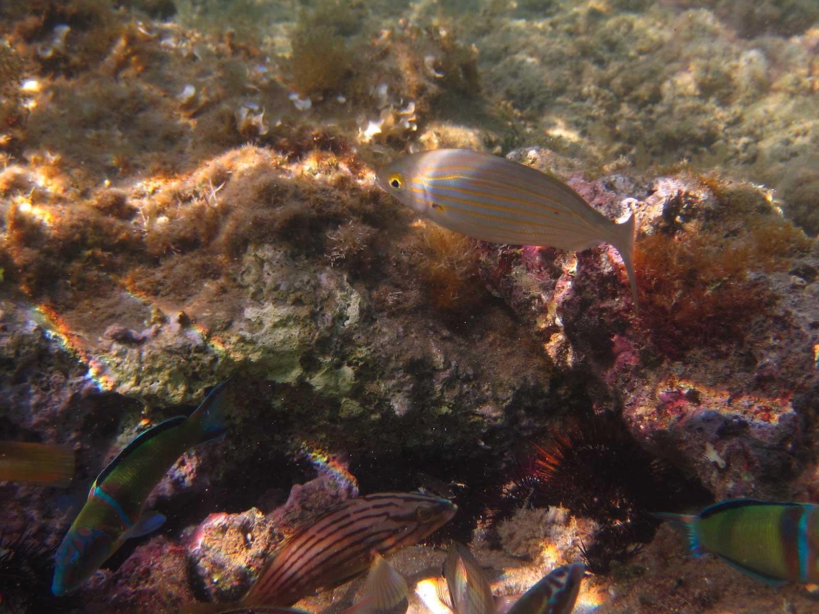 salpa fish mykerkyra.com